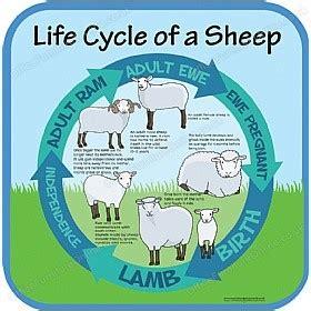 life cycle of a sheep sign | life cycles