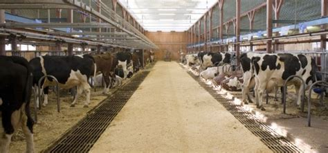 we built our first cow milking stanchion farm the big barn delaval corporate