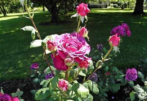 Types Of Garden Roses - file hybrid tea big purple 8 c jpg wikimedia commons