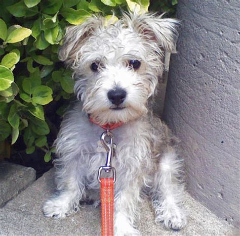 schnauzer poodle lifespan what is a schnauzer poodle mix dogs in our photo