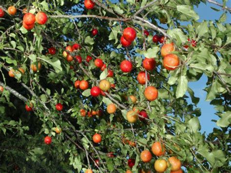 non fruiting plum tree cherry plum prunus cerasifera woodland trust