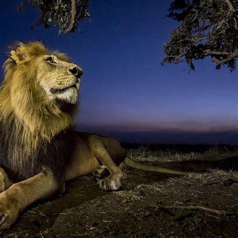 imagenes de leones national geographic leones los reyes de la sabana