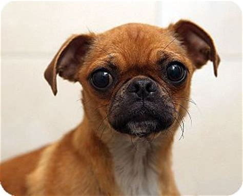 pug mix rescue pug chihuahua mix for adoption in berkeley california pug