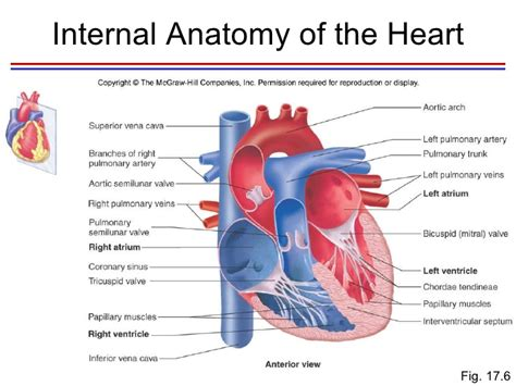 cross sectional view of the heart heart