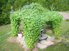 Best Climbing Plants - 19 best pergola plants climbing plants for pergolas and