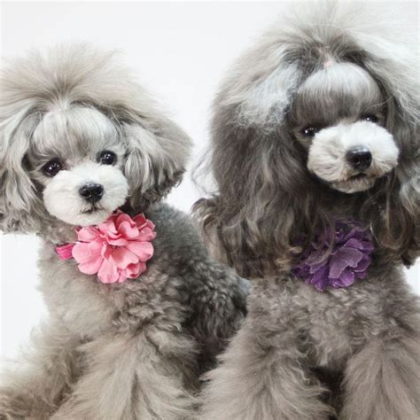 dog cut styles cute toy poodle haircuts haircuts models ideas