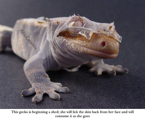 Crested Gecko Shedding by Crested Gecko Reptile Zilla