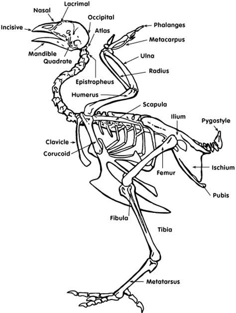 chicken diagram chicken anatomy tbn ranch chicken keeping