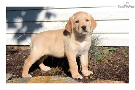 goldador puppies for sale goldador puppy for sale near lancaster pennsylvania 67cdb737 f141