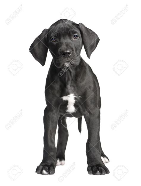 black great dane puppy 50 great dane puppy images and pictures