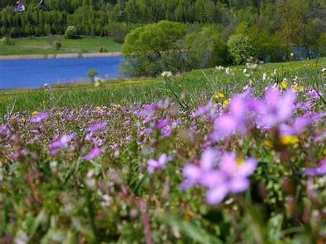 fiori viola significato fiori viola significato dei fiori fiori viola