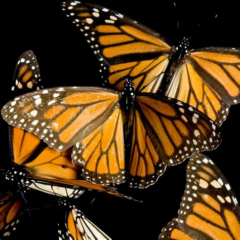 monarch butterfly monarch butterfly national geographic