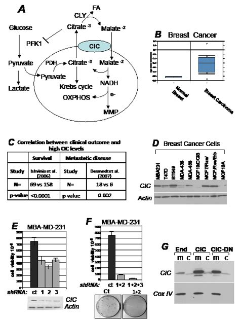 Homeostasis Mba by Oncotarget The Mitochondrial Citrate Transporter Cic
