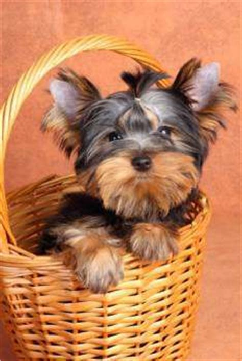 yorkie limping yorkie health problems terrier information center