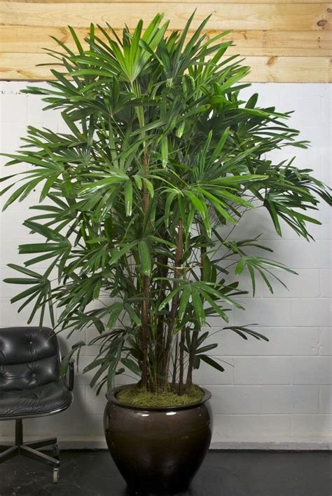 extra large rhapis lady palm indoor plant pots indoor