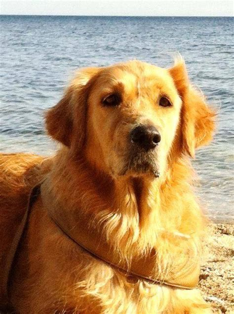 golden retriever health issues golden retriever health problems many