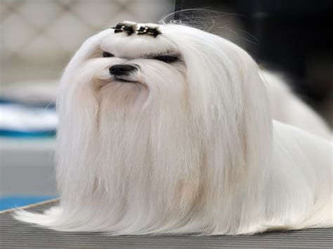 maltese grooming styles with long and short hair maltese haircuts styles pictures hairs picture gallery