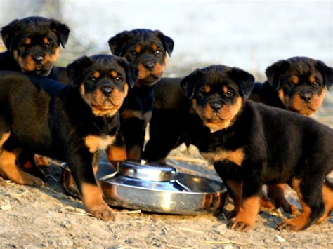 rottweiler and baby rottweiler baby 1024x768 wallpapers rottweiler 1024x768 wallpapers pictures free