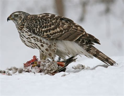 hinterland who s who sharp shinned hawk cooper s hawk
