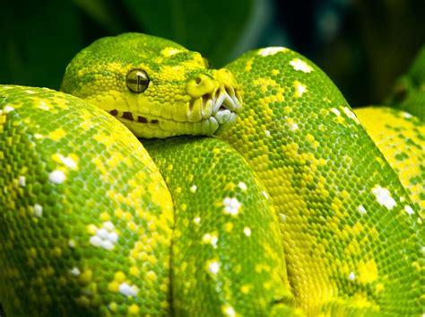 colorful snake green tree python