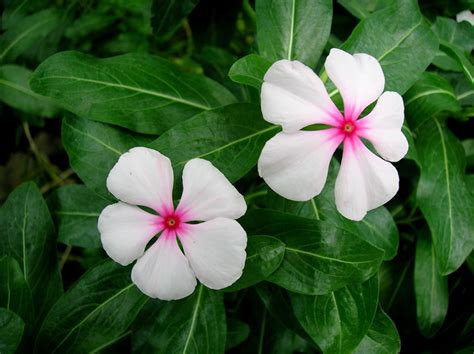 cural impatance of rosy periwinkle medicinal botany active plant ingredients