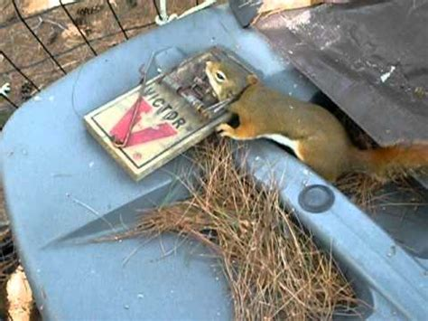 how to hunt squirrels in your backyard squirrel trapping