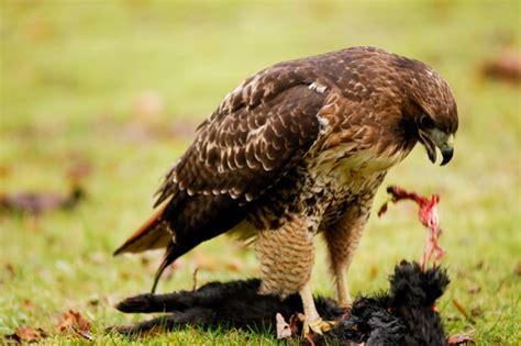 hawk eating cat