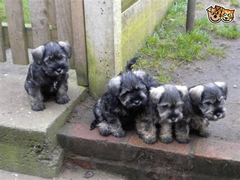 miniature schnauzer puppies for sale in miniature schnauzer pups for sale mansfield nottinghamshire pets4homes