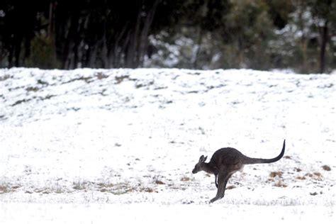 kangaroo wakes to a cold morning abc news australian