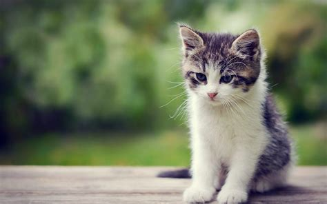 kitten background kittens wallpapers wallpaper cave