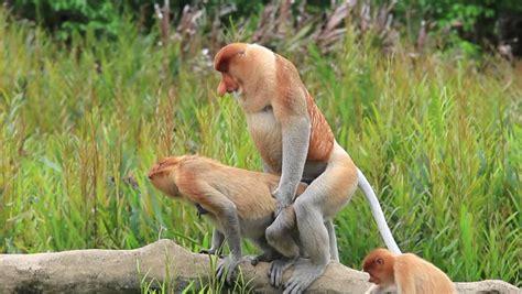 free sed proboscis monkey stock footage
