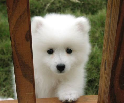 white puppy breeds white breeds