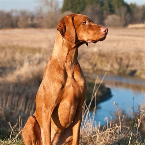 vizsla golden retriever mix for sale vizsla pointer mix breeds picture