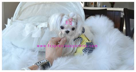 maltese yorkie teacup teacup maltese puppies for adoption in florida breeds picture