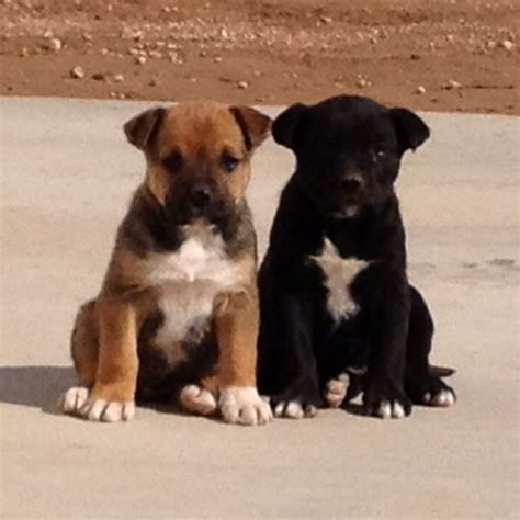 boxador puppies 50 best images about boxador on best dogs puppys and the boxer