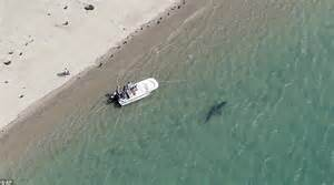 chatham cape cod sharks great white shark gets a to family