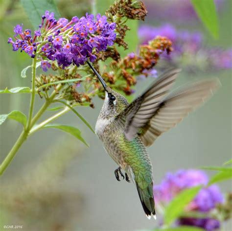 hummingbird getting nectar feederwatch