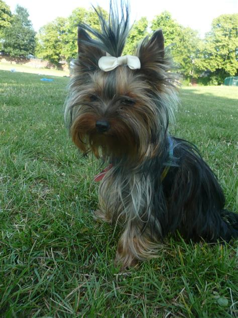 yorkie puppy size teacup size terrier luton bedfordshire pets4homes