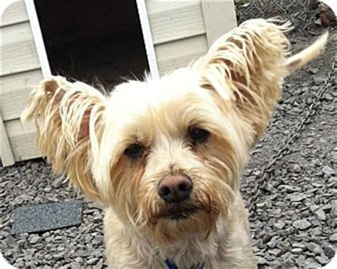 westie and yorkie mix bingo adopted rigaud qc yorkie terrier westie west highland