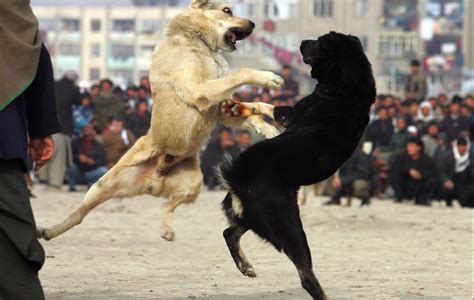 dogs fighting animal zoo animal fight animal fights animals fighting animal fighting animals