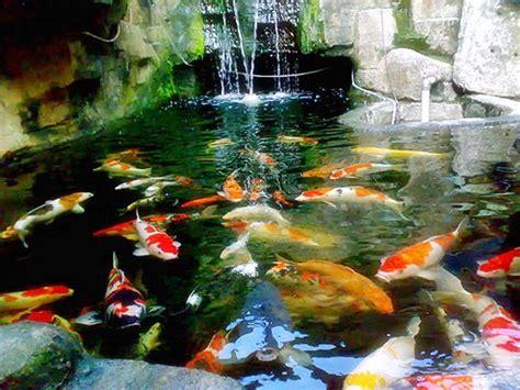cara membuat filter air kolam ikan koi ikanhias membuat kolam ikan mas koi