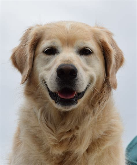 breeds similar to golden retriever free images animal nose golden retriever vertebrate labrador retriever