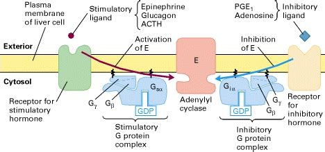 cell biology - GPCRs: Gi and Gs - Biology Stack Exchange G Protein Coupled Receptors Adenylyl Cyclase