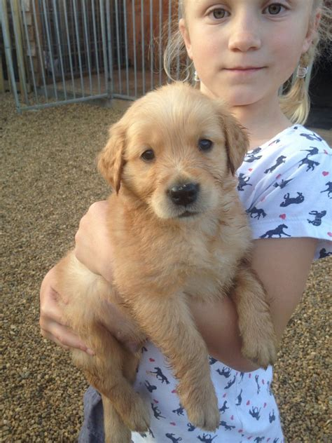 working golden retriever puppies for sale uk working golden retriever puppy fakenham norfolk pets4homes