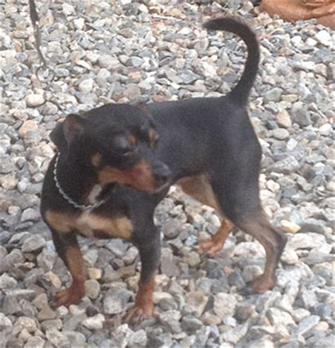 do rottweilers white on their chest miniature pinscher