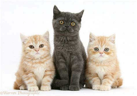 and kitten grey kitten and younger kittens photo wp34259