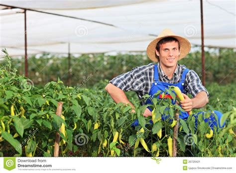 The Gardener by A Smiling Gardener Picking Peppers In A Garden Stock Image