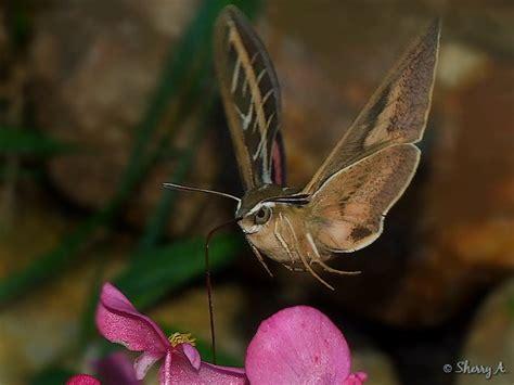 striped hummingbird moth sherry s place