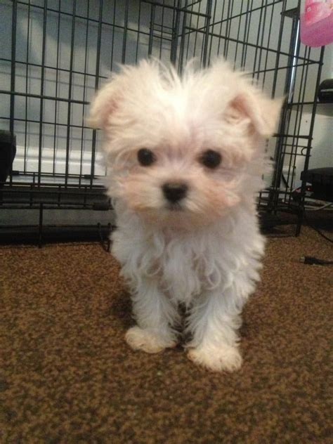 maltese chihuahua mix puppies malchi puppy maltese chihuahua stockton on tees county durham pets4homes