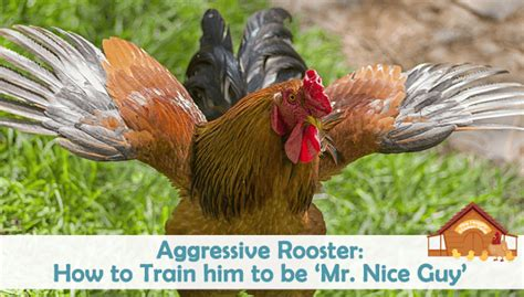 how to your to be aggressive aggressive rooster how to him to be mr